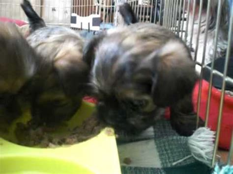 5 week puppy food tiny shorkie puppies puppy food 5 weeks