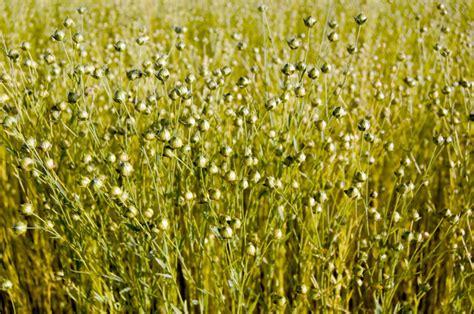 come utilizzare i semi di lino in cucina curare la pelle sensibile dall interno i semi di lino