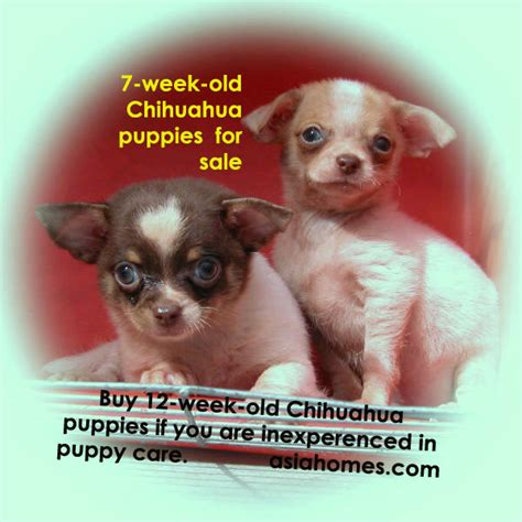 selling puppies at 6 weeks 031119asingapore real estate condo advertising agency classified advert