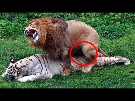 8 Strange Animal Mating Rituals by Animals Mating With Humans Funnycat Tv