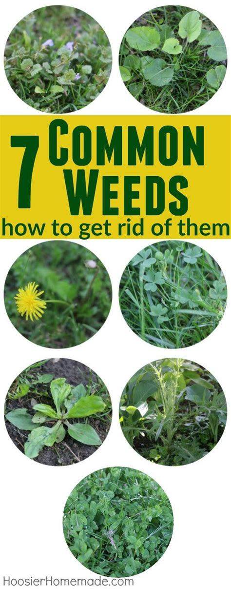 25 best ideas about common lawn weeds on pinterest
