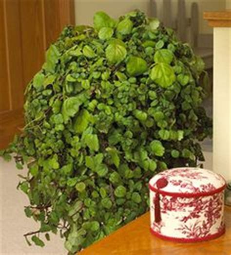 cascading indoor plants 1000 images about swedish ivy on pinterest ivy plants