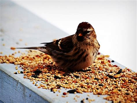 is your bird feed full of weed seed