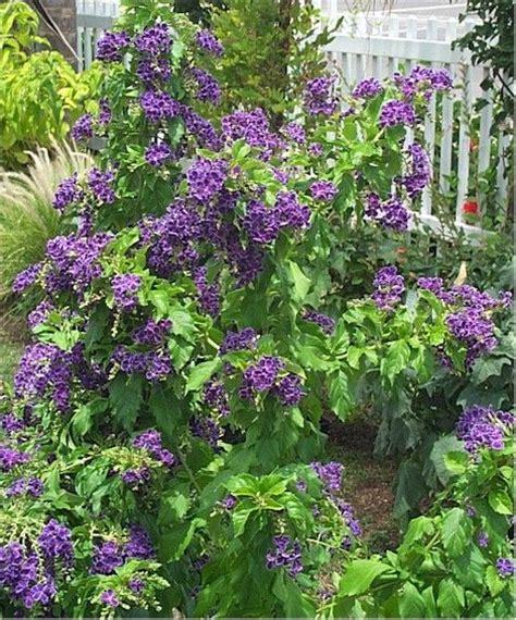 purple duranta gardening pinterest