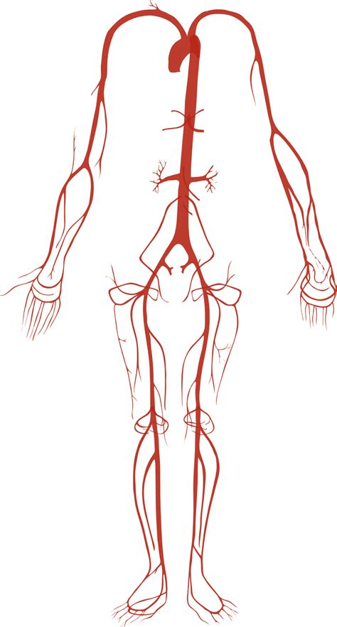 diagram of human arteries file arterial system png wikimedia commons