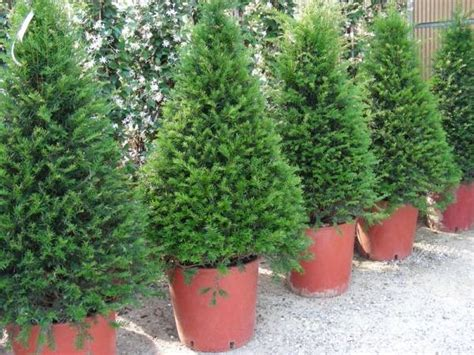 conifere in vaso taxus baccata alberi conifere taxus baccata per giardino