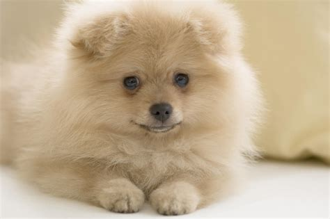 pomeranian puppies puppy breeds pictures