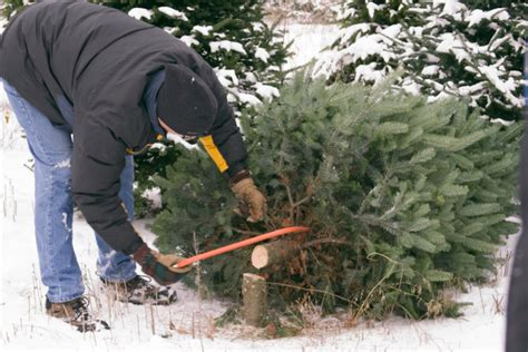 cut down your own christmas tree edmonton tree farms near cincinnati cincinnati parent magazine