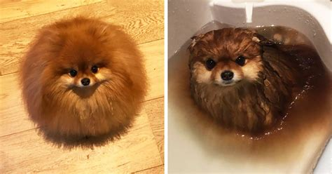 top pomeranian did you that pomeranians melt in water this owner learned it the way
