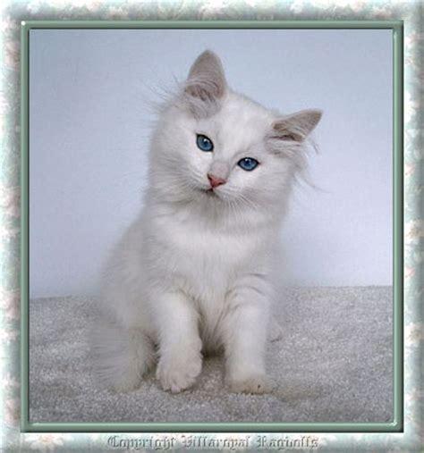 ragdoll white cat white ragdolls and blue eyed white ragdoll kittens