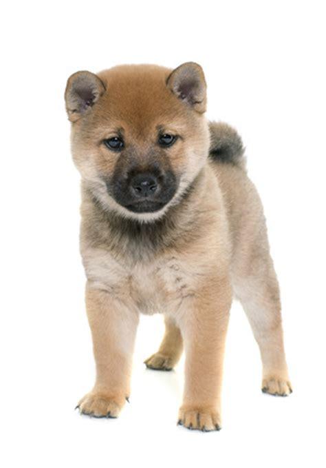 shiba inu puppies colorado shiba inu puppies for sale colorado tlc kennel