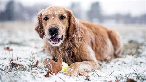 snow golden retrievers golden retriever in the snow wallpaper 20975