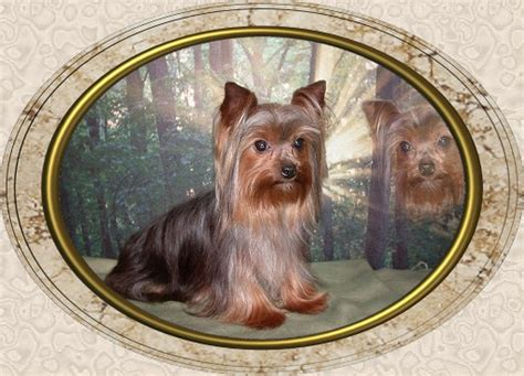 velvet touch yorkies page 4 velvet touch yorkies d o b height weight information