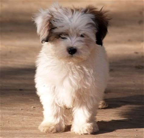 shih tzu maltese span mal shi maltese x shih tzu mix temperament puppies pictures