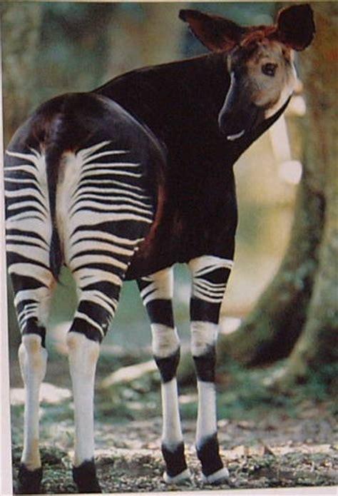 The Giraffes Cousins 104 best okapi images on okapi animal kingdom and animal pictures