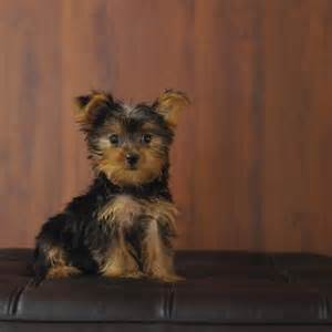 pictures of shorkie dogs with hair all about dogs how to groom a shorkie