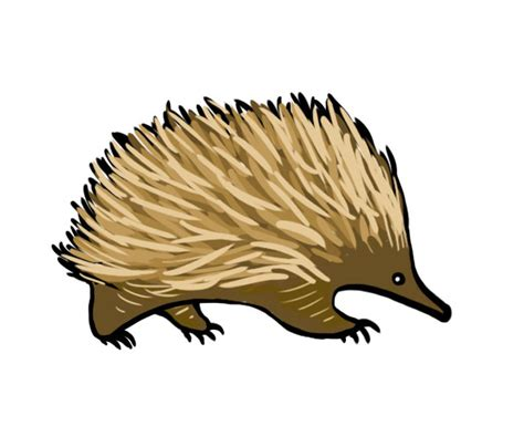 echidna clipart file echidna illustration jpg wikimedia commons