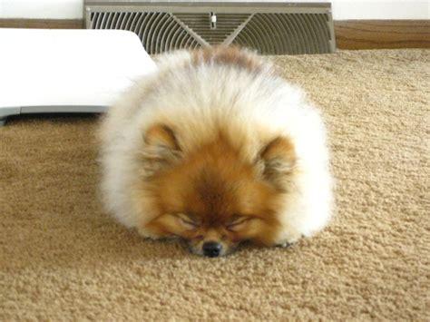 sleeping pomeranian pomeranian sleeping