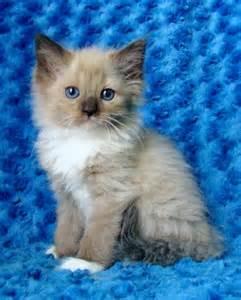 Ragdoll kittens for sale buy ragdoll kittens