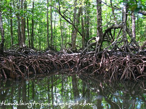 paddle boats the woodlands deeper into palawan s mangrove forest