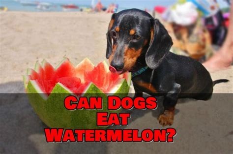 can dogs eat watermellon teacup dogs daily 187 your small dogs informations center