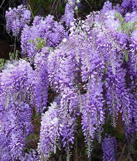 wisteria flower 10 plantas que voc 234 pode ter no jardim sem saber que s 227 o