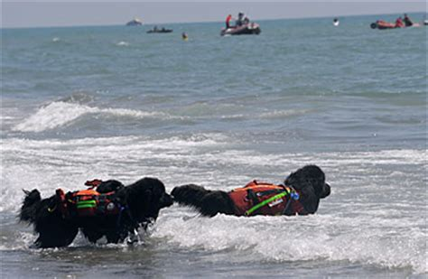boat hits dog hairy heroes canine lifeguards hit italy s beaches time