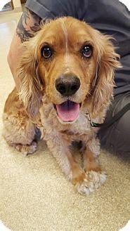 golden retriever puppies vancouver wa vancouver wa cocker spaniel golden retriever mix meet a for adoption