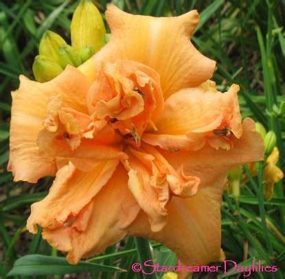 doodlebug ruckersville stardreamer daylilies skipper doodle