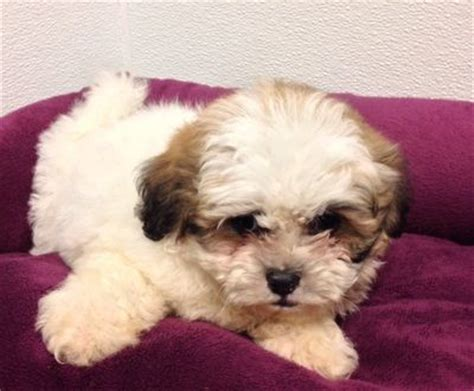shih poo puppies for sale in michigan 17 best images about pets for sale on morkie puppies for sale yorkie