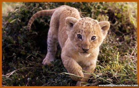 imagenes de leones feroces imagenes de cachorros leones preciosos imagenes de leones