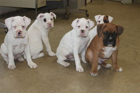 white boxer puppies for sale boxer puppies here is a litter posted at boxer puppies for sale here is a