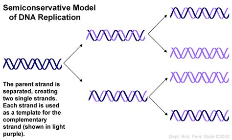 Semiconservative Replication Involves A Template What Is The Template tutorial 17 from gene to protein biol 110