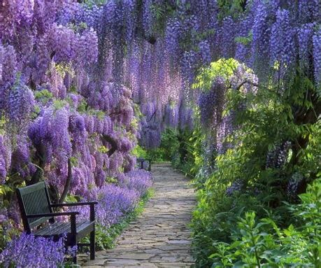 wisteria wallpaper wisteria wallpapers keywords here