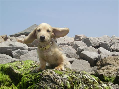 dachshund puppies wilmington nc specializing in dachshunds bennys dachshunds