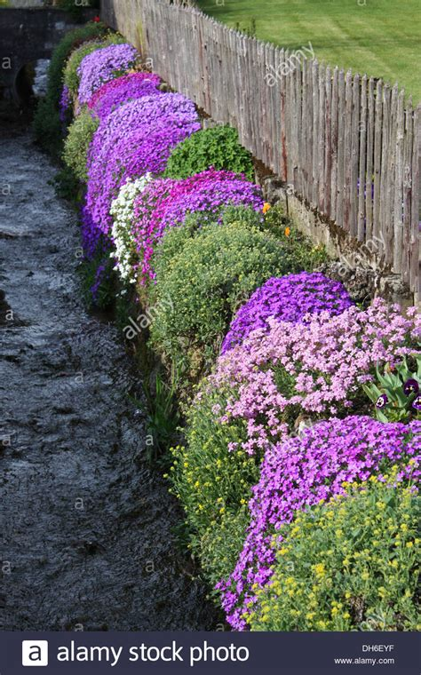 flowering shrubs with purple flowers purple flowering plants against fence stock photo royalty