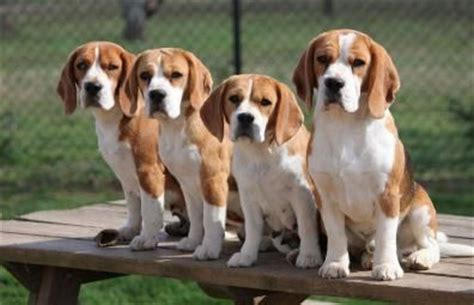 beagle puppies for sale in nc 25 best ideas about beagle pups for sale on beagle dogs for sale beagle