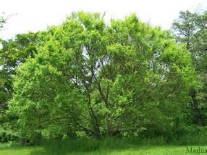 Green Vase Zelkova Tree Chinese Elm Ulmus Parvifolia