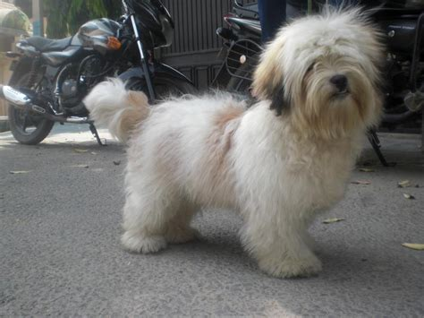 lhasa apso puppies price lhasa apso puppies for sale beingdoglover 1 14254 dogs for sale price of puppies