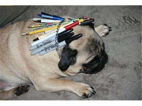pug world records most writing utensils fit inside a pug s collar world record nick h