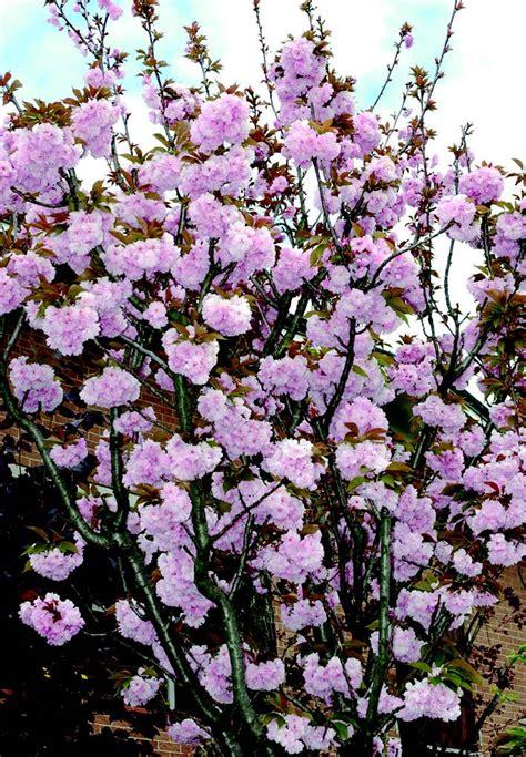 prunus da fiore il pruno da fiore ama i piccoli giardini