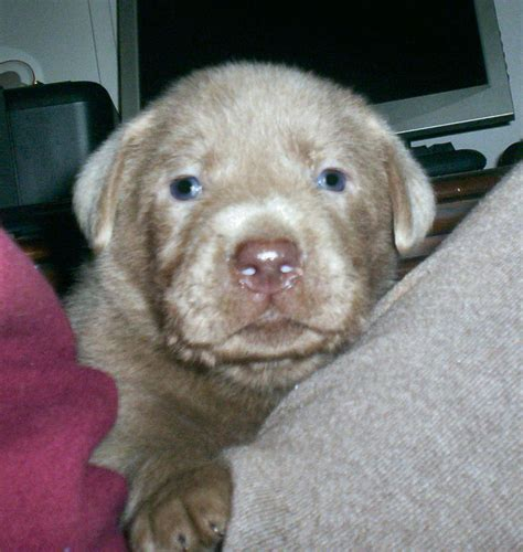 lab puppies for sale in ms silver lab puppies for sale in mississippi breeds picture