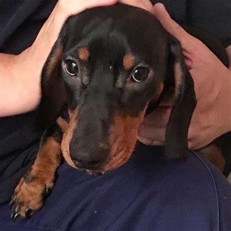 dachshund puppy for sale dachshund puppy for sale tunbridge kent pets4homes