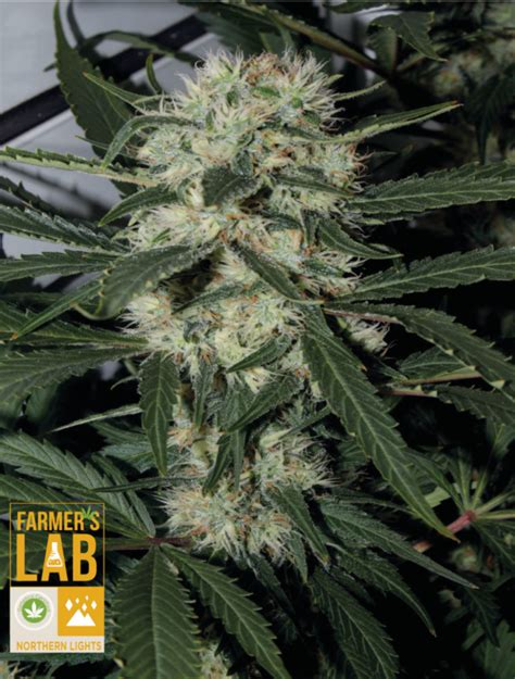 Buy Northern Lights Strain For The Sale Farmer S Seed Lab Northern Lights Outdoor Yield