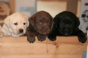 lab colors where does your lab s color come from labrador