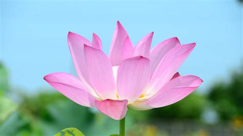 lotus flower images free downloads lotus flower 4k ultra hd fond d 233 cran and arri 232 re plan