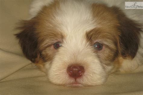 havanese puppies buffalo ny havanese puppy for sale near buffalo new york 428d74d9 29f1