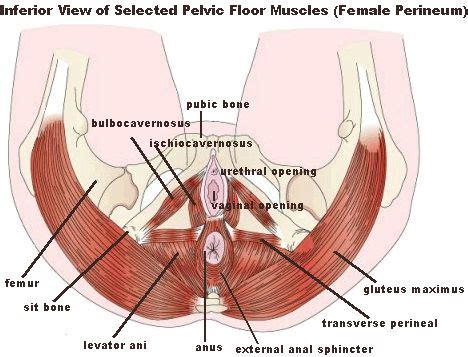 pelvic area pictures pelvic floor muscle and nerve damage females left side hip