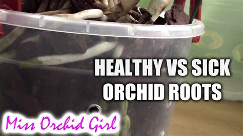how to if your is healthy vs sick roots how to tell if your orchid has healthy roots