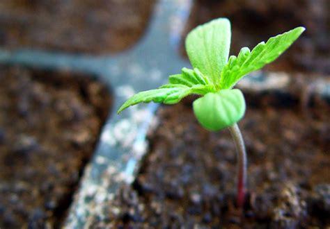 imagenes niños sembrando plantas c 243 mo plantar marihuana paso a paso